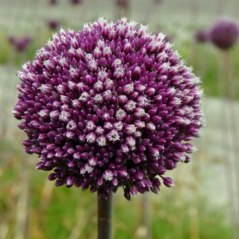 plant van het jaar paarse bloem
