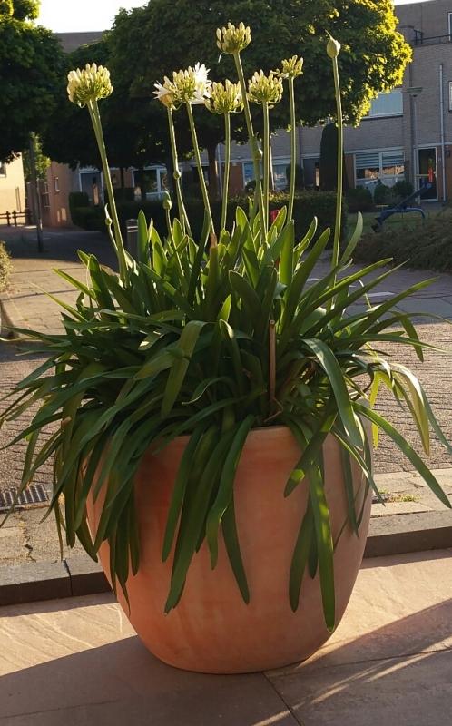 Grote Potplanten Voor Buiten.Verzorging Agapanthus
