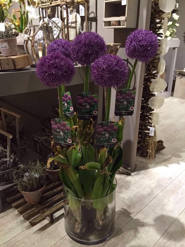 Atemberaubend Allium - Agapanthus &XE_96